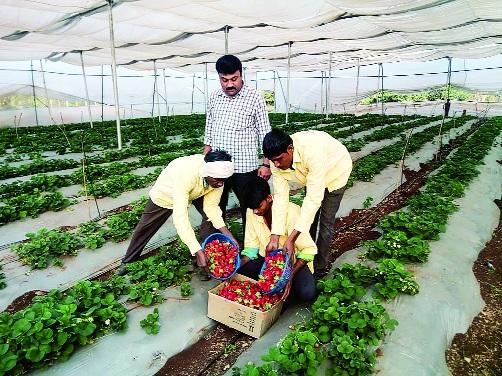 Strawberry farming in Nanded on the base of Mahabaleshwar | महाबळेश्वरच्या धर्तीवर नांदेडातही स्ट्रॉबेरीची शेती
