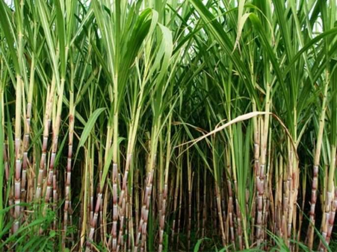 report of Stop Sugarcane farming in Marathwada is on hold | मराठवाड्यात ऊसबंदीचा अहवाल सबुरीने घेण्याचा सल्ला