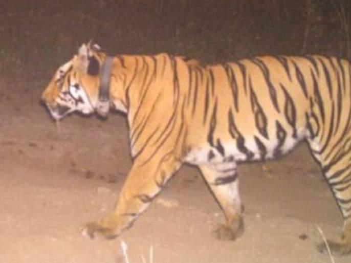 As soon as the tiger came to a halt, the youth threw his bike and climbed the tree | अन् वाघ आडवा येताच, दुचाकी टाकून युवक चढले झाडावर