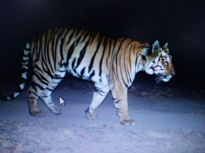 3017km journey in 14-month delusion: Radio collar of 'that' tiger removed by forest department | १४ महिन्यांच्या भ्रमंतीत ३,०१७ किमीचा प्रवास : 'त्या' वाघाची रेडिओ कॉलर वनविभागाने काढली