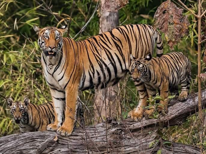 population of tigers increases in maharashtra and madhya pradesh | महाराष्ट्रासह मध्यप्रदेशात वाघांच्या संख्येत वाढ