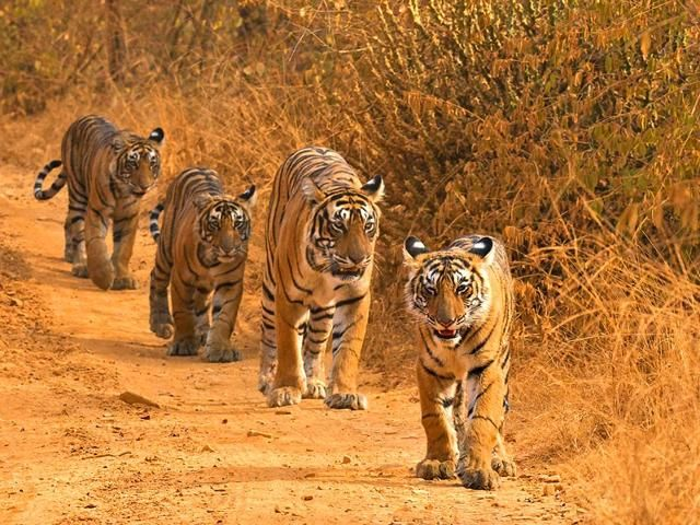 In the forest of Vidarbha, there are 295 tigers | विदर्भातील जंगलात २९५ वाघ