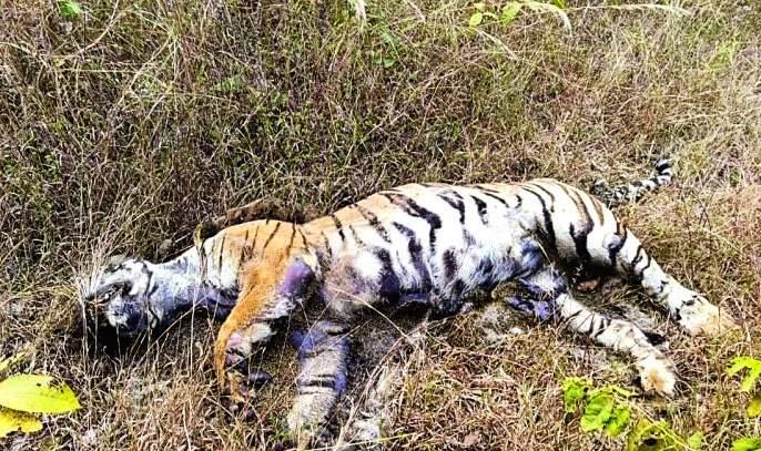 Tigress and two calves were killed due to poisoning   विषप्रयोगाने वाघिण व दोन बछड्यांचा गेला बळी