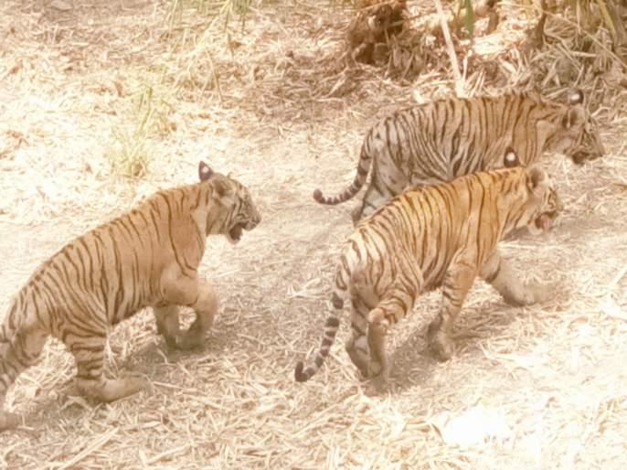 tourist come to see tigers of pune's animal park | गुरु,सार्थक व आकाशला पाहायला पर्यटकांची गर्दी