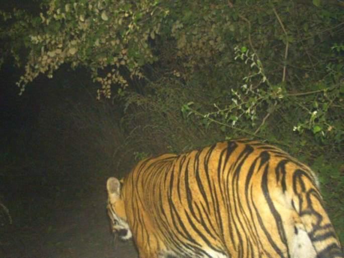 Forest Department in search of tiger in Mihan: Number of camera traps above 30 | मिहानमध्ये वाघाच्या शोधात वनविभाग: कॅमेरा ट्रॅपची संख्या ३० वर