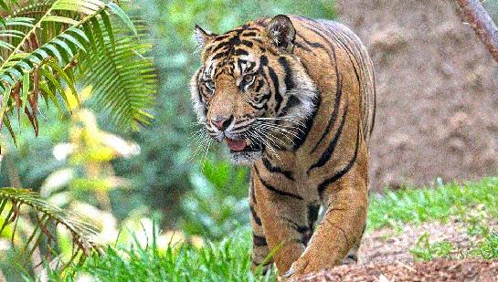 Tigers figure have increases, now the challenge of survival | वाघ वाढलेत, आता टिकविण्याचे आव्हान