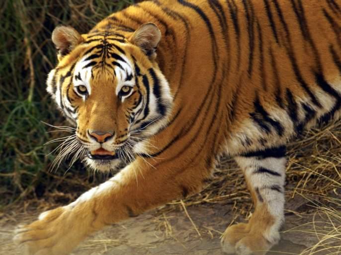 Maneater tigress again got one week life | नरभक्षक वाघिणीला पुन्हा आठवडाभर जीवनदान