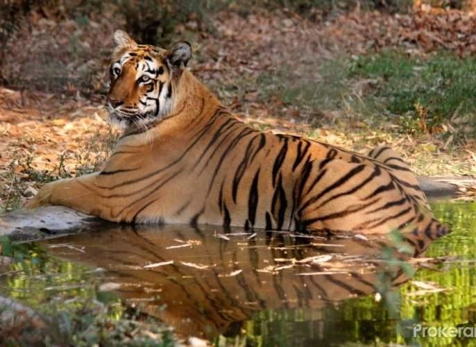 Tigress will get a partner in Maharaj Bagh | महाराज बागेतील वाघिणीला मिळणार जोडीदार