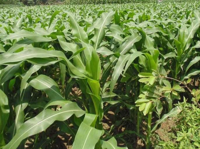 Akola district has 4.94 lakh metric tonnes of fodder available! | अकोला जिल्ह्यात ४.९४ लाख मेट्रिक टन चारा उपलब्ध!
