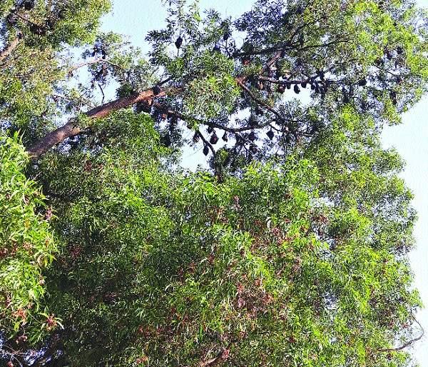 Dangerous trees were discovered in the trash | खोजेवाडी फाट्यावरील धोकादायक झाडे तोडली