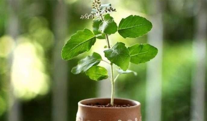 basil, neem also release oxygen at night | पिंपळ, तुळस, कडुलिंब रात्रीही सोडतात ऑक्सिजन