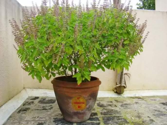 Need a blossoming basil, then try this remedy!   बहरलेली तुळस हवी, मग 'हे' उपाय करून पहा!