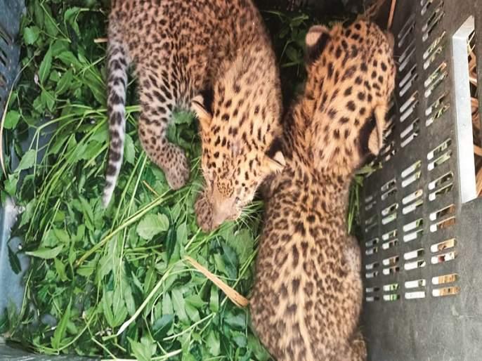 Two calves were found; Cages planted in twelve places   बिबट्याचे दोन बछडे आढळले; बारा ठिकाणी लावले पिंजरे