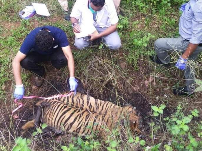 Waghini's third calf also poisoned, outraged by wildlife lovers in nagpur umarkhed karhad   वाघिणीचा तिसरा बछडाही विषप्रयोगाचा बळी, वन्यप्रेमींकडून संताप