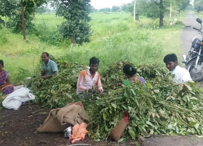 Harvest the green urad crop to prevent damage | नुकसान टाळण्यासाठी हिरव्या उडिद पिकाची तोडणी