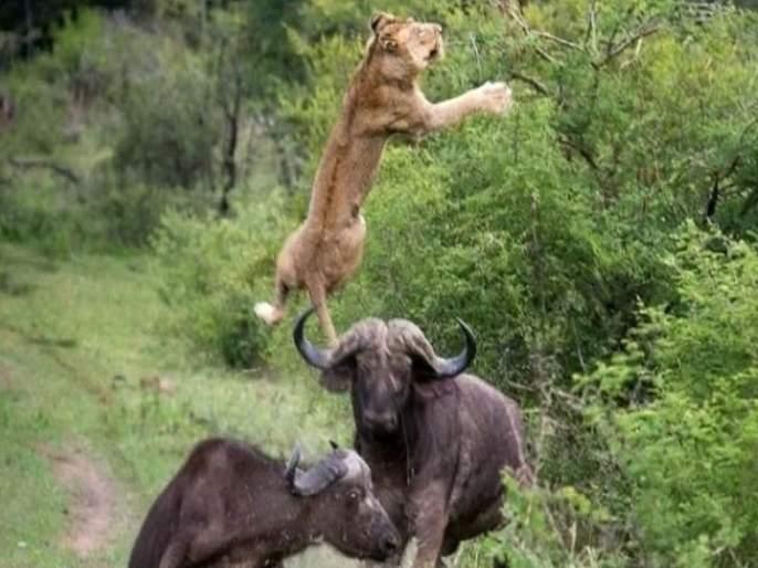 Viral video : Viral video of buffalo and lion goes viral on social media   Viral video : बाबो! शिंगावर उचलत 5 सेकंदात सिंहाला म्हशीनं चितपट केलं; व्हिडीओ पाहाल तर डोळे उघडेच राहतील