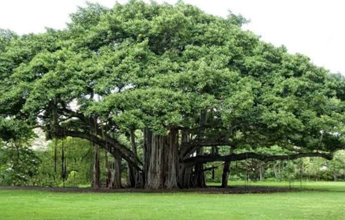 This year will be the 'Tree Valentine'; The first Tree Sanmelana to be chaired by a Vatvruksha | यावर्षी होणार 'ट्री व्हॅलेंटाईन'; पहिल्या वृक्षसंमेलन अध्यक्षपदी असणार वटवृक्ष