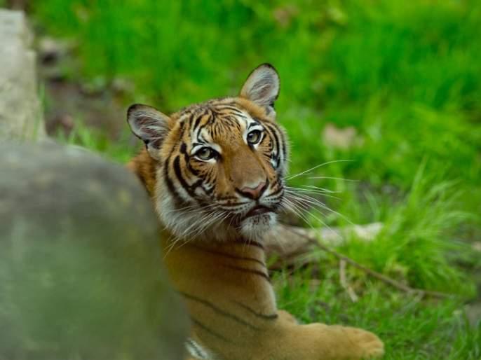 Coronavirus: world's first Corona-positive animal found, infected with zoo tiger in america MMG | Coronavirus : जगातील पहिला कोरोना पॉझिटीव्ह प्राणी आढळला, प्राणीसंग्रहालयातील वाघिणीला संसर्ग