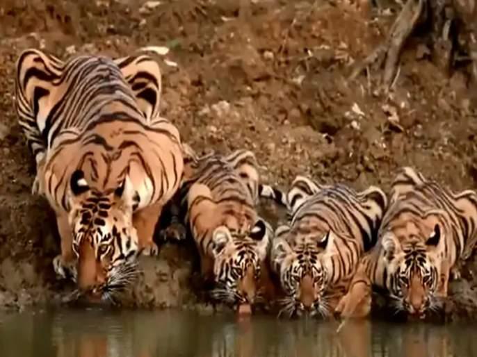 Viral video indian forest services officer susanta nanda share family of tigers drinking water | नदीच्या किनाऱ्यावर बछड्यांसोबत पाणी पिताना दिसली वाघिण; व्हिडीओ झाला व्हायरल