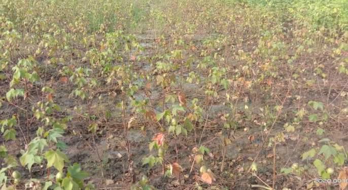 Cotton in an area of 40 hectares was destroyed by heavy rains   अतिपावसाने उद्धस्त झाली ४० हेक्टर क्षेत्रातील कपाशी