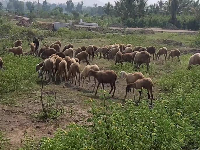 coronavirus outbreak telangana man ties masks on goats after hearing this news SSS | Coronavirus : कोरोनापासून शेळ्यांचं रक्षण करण्यासाठी त्याने लढवली अनोखी शक्कल, पाहून वाटेल नवल