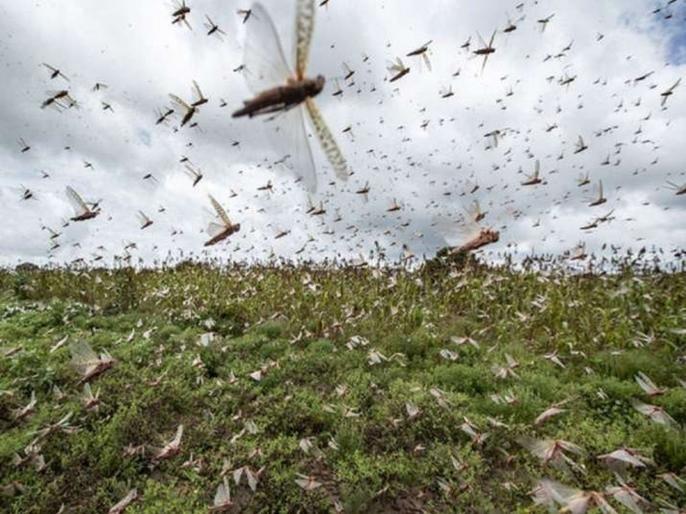 warns of another invasion of locusts in july   बापरे! देशात जुलैमध्ये पुन्हा टोळधाड धडकणार, 'या' राज्यांना केलं अलर्ट