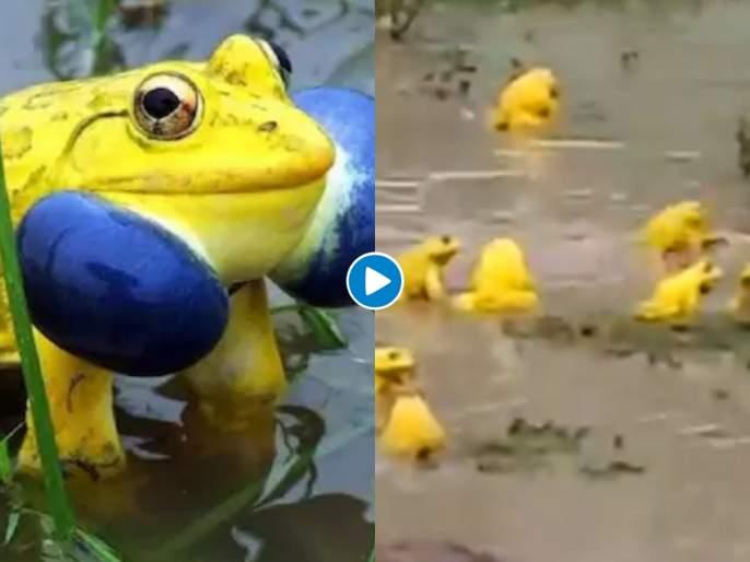 Yellow bullfrogs seen in madhya pradesh see Viral video | Video : आता हिरवे नाही तर पिवळे बेडूक घेताहेत पावसाचा आनंद; व्हिडीओ पाहून चकीत व्हाल
