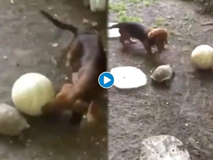 Viral video of turtle playing with pup and running after ball has twitter amazed | Video : कुत्र्याच्या पिल्लाला कासवासह खेळण्याची भारीच हौस; नेटिझन्सनी पाडला लाईक्सचा पाऊस
