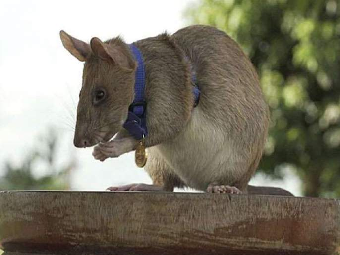 african hero rat magawa gets gold medal for sniffing out landmines in cambodia   इटुकल्या पिटुकल्या उंदराने केली कमाल, मिळाला 'शौर्य' पुरस्कार; कामगिरी ऐकून व्हाल हैराण