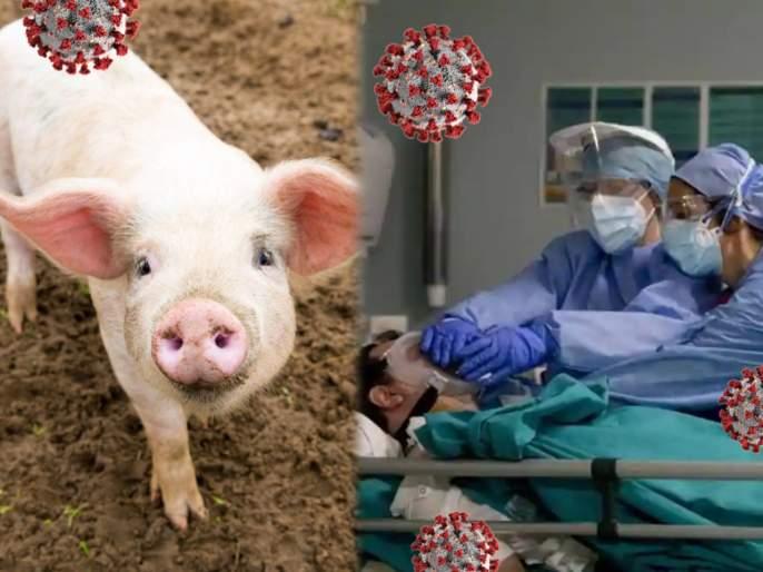 CoronaVirus News In Marathi : Pigs coronavirus strain could spread to humans study | कोरोनाचं अजून एक भयानक रूप माणसांमध्ये फैलावण्याचा धोका, चिंता वाढवणारी माहिती समोर