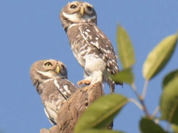 Pingala Bird found in nashik | जागतिक वन पिंगळा संवर्धन दिन : लुप्त होणारा 'वन पिंगळा' नाशकात देतो दर्शन!