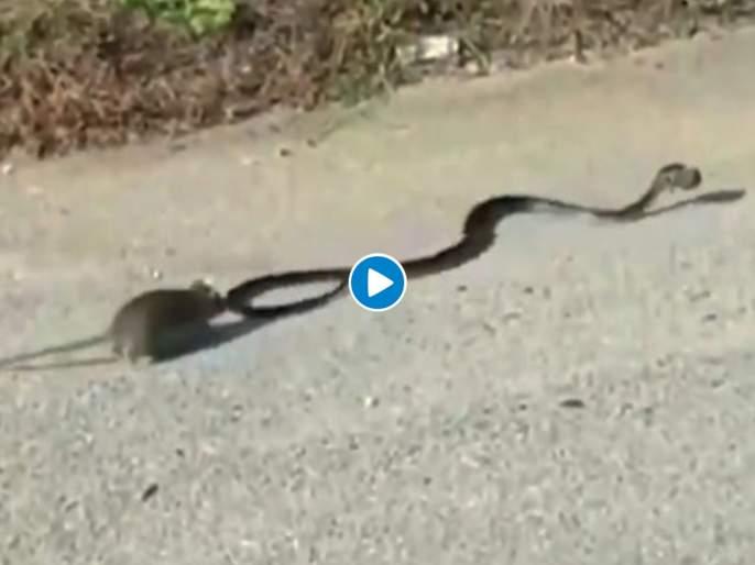 Mommy mouse rescues baby from snake mouth video goes viral   आई ती आईच...! सापाच्या तोंडात सापडलेल्या उंदरांच्या पिल्लाला अखेर आईनं वाचवलं, पाहा व्हिडीओ