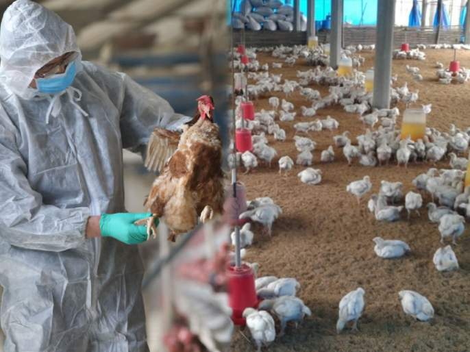 Bird flu Bird flu in india avian influenza strain Things you need to know   कोरोनाप्रमाणे बर्ड फ्लूसुद्धा स्ट्रेन बदलणार? माहामारी येण्याची शक्यता कितपत? जाणून घ्या फॅक्ट्स