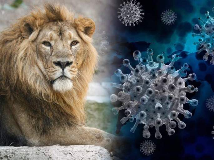 CoronaVirus Live Updates 8 asiatic lions test positive for covid19 in hyderabad zoo   CoronaVirus Live Updates : बापरे! जंगलचा राजा कोरोनाच्या विळख्यात; हैदराबादच्या प्राणीसंग्रहालयातील 8 सिंह पॉझिटिव्ह