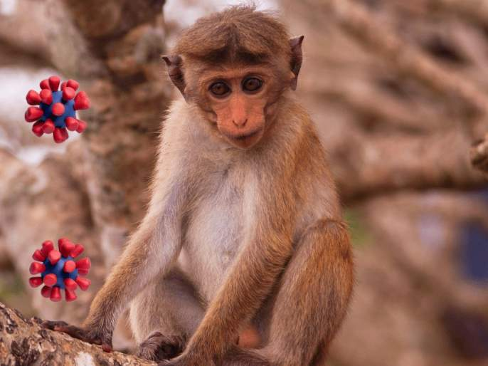 After COVID-19, China reports first human infection of Monkey B virus |  english.lokmat.com