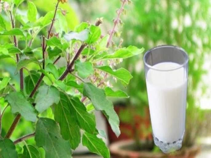 Health Tips In Marathi : Tulsi milk health benefits immunity booster | सर्दी, खोकल्यावर रामबाण उपाय १ ग्लास तुळशीचं दूध; इतर फायदे वाचून अवाक् व्हाल