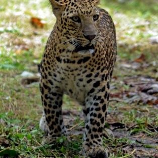 Leopards up from 7,910 to 12,852 in India's tiger range landscapes | Leopards up from 7,910 to 12,852 in India's tiger range landscapes
