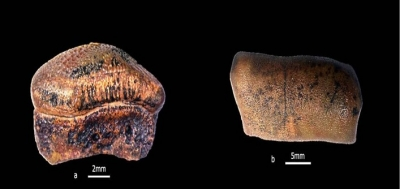 New species of Jurassic era hybodont shark discovered in Jaisalmer   New species of Jurassic era hybodont shark discovered in Jaisalmer