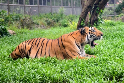 Tiger mauls 2 UP farmers to death in a week | Tiger mauls 2 UP farmers to death in a week