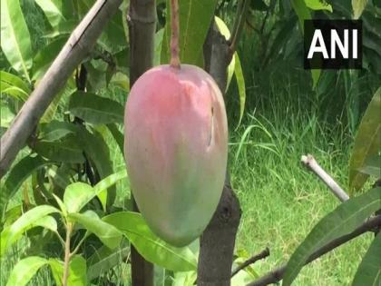 MP couple deploy guards, watchdogs to protect world's most expensive mangoes   MP couple deploy guards, watchdogs to protect world's most expensive mangoes