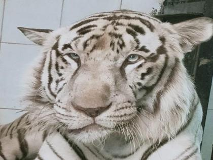 White male tiger dies due to neoplastic tumour in lower jaw at Hyderabad's Nehru Zoological Park | White male tiger dies due to neoplastic tumour in lower jaw at Hyderabad's Nehru Zoological Park