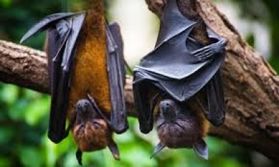Bat-related coronaviruses more frequent than thought: Study | Bat-related coronaviruses more frequent than thought: Study