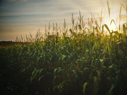 Study identifies gene that regulates root growth angle in corn   Study identifies gene that regulates root growth angle in corn