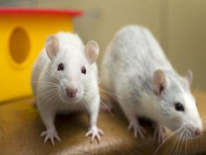 Rats prefer to help their own kind, humans may be similarly wired: Study   Rats prefer to help their own kind, humans may be similarly wired: Study
