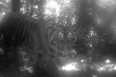 2 killed in UP tiger attack in Pilibhit   2 killed in UP tiger attack in Pilibhit
