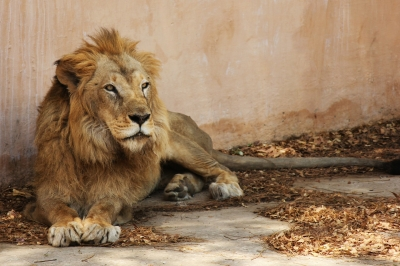 12-year-old lion falls prey to Covid in Chennai zoo   12-year-old lion falls prey to Covid in Chennai zoo