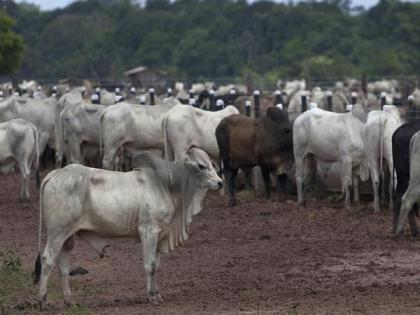 China's high demand for beef from Brazil fuelling environmental crisis | China's high demand for beef from Brazil fuelling environmental crisis