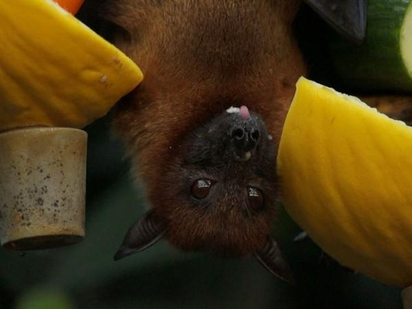 Genes in some bats change due to deadly white-nose syndrome - Lokmat