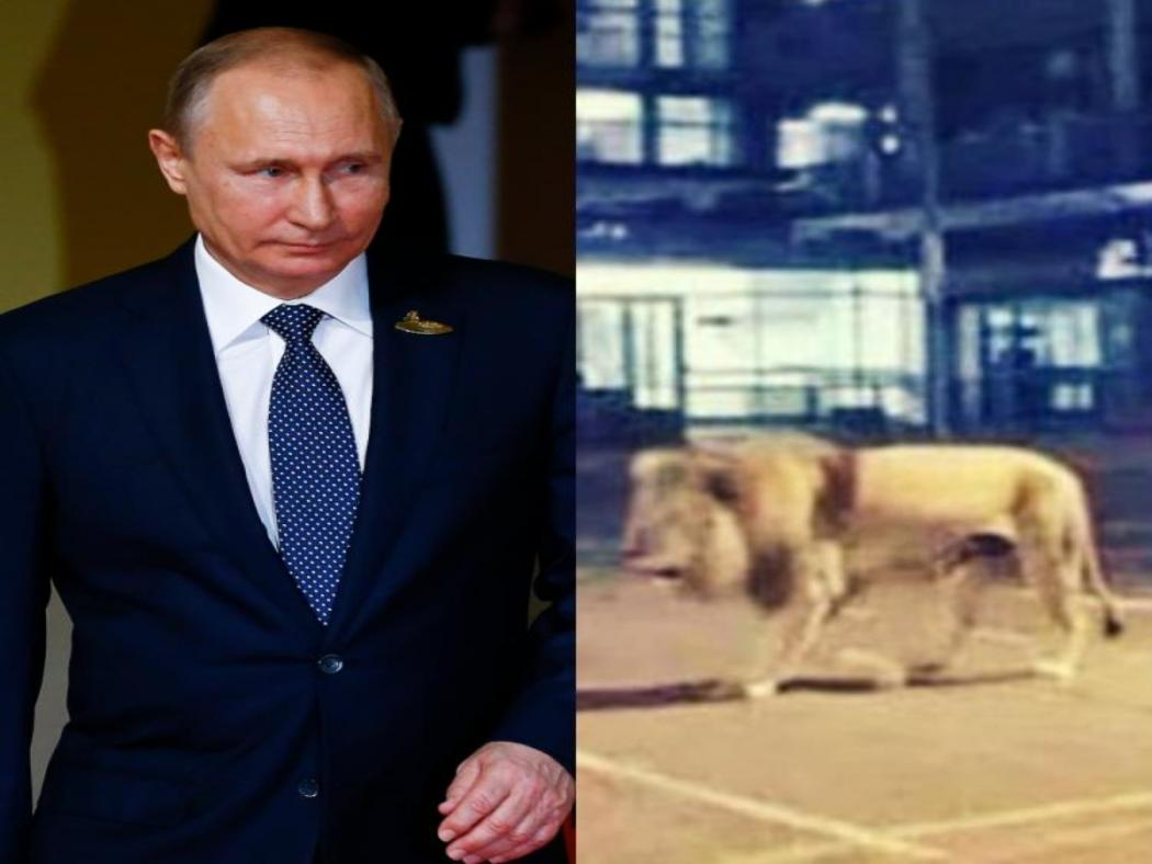 Coronavirus Outbreak False News Of Vladimir Putin Unleashing 800 Lions On Russian Streets To Force People Inside Goes Viral English Lokmat Com