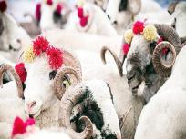 Bakrid 2020: बकरीद मनाने का क्या है रिवाज और किस तरह के बकरों की देनी चाहिए कुर्बानी?